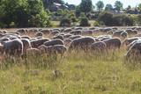 Moutons Das la pairie