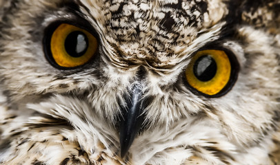 A close look of the beak and orange eyes of a owl. Selective focus.