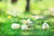Little chicks in shopping cart on green grass