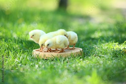 Little chicks standing on wooden board