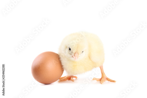 Little chick with egg isolated on white background