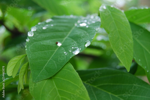 Royalty high quality free stock photo green leaves with raindrops above, abstract blurred background - 254463878