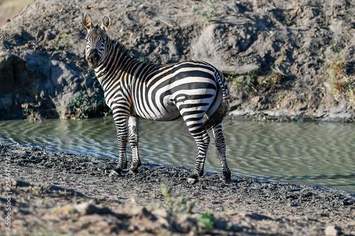 herd of zebra - 254471476