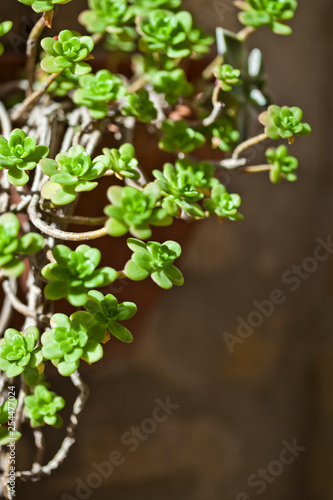 Hanging succulents closeup - 254477024