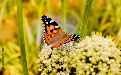 Butterfly on white plant close up - 254477218