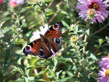 butterfly on flower 3