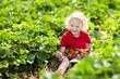 Leinwanddruck Bild - Kids pick strawberry on berry field in summer
