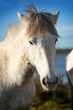White horse in Camargue