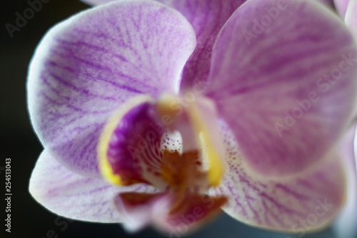 pink orchid macro - 254513043