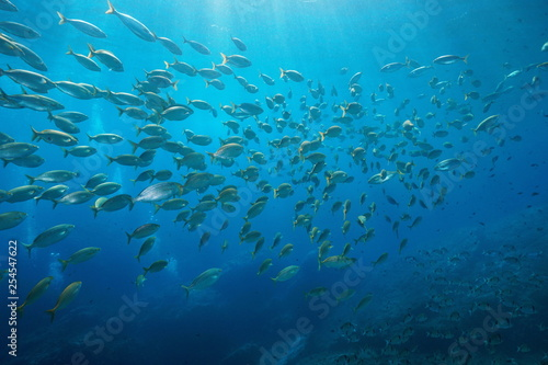 obraz PCV School of fish sea breams underwater in the Mediterranean, Port-Cros, Cote d'Azur, France