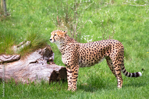 obraz lub plakat A North African cheetah (also called a northeast African cheetah, Acinonyx jubatus soemmeringii) standing in a grassy field.