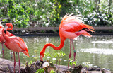A Caribbean flamingo (also called American flamingo, Phoenicopterus ruber) ruffles its feathers on the shore of a pond.