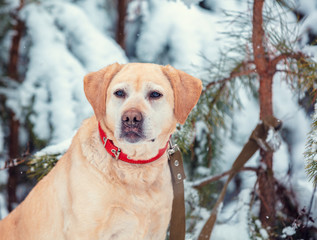 Labrador Retriever dog sits in the winter in a snowy pine forest