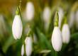 Schneeglöckchen im Frühling