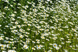 A lot of white flowers of chamomile in sunny summer day. Beautiful meadow with daisies.