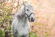 White horse portrait in spring pink blossom tree - 254600696