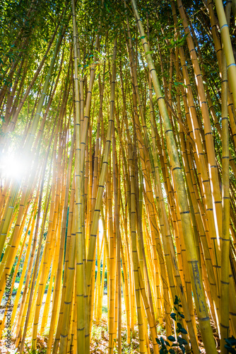 Bamboo sprouts forest