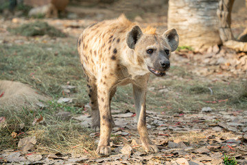 spotted hyena in zoo © anankkml