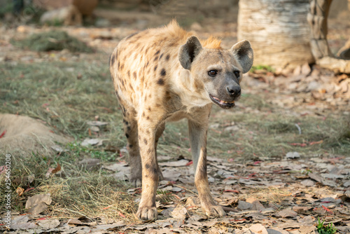 obraz PCV spotted hyena in zoo