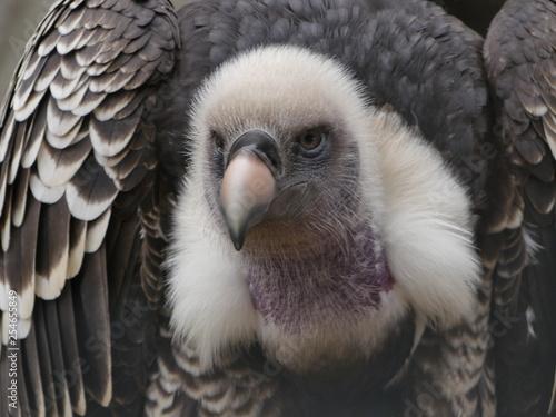 Trigonoceps occipitalis - white headed vulture portrait view - 254655849