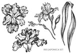 Vector collection of hand drawn black and white iris japonica