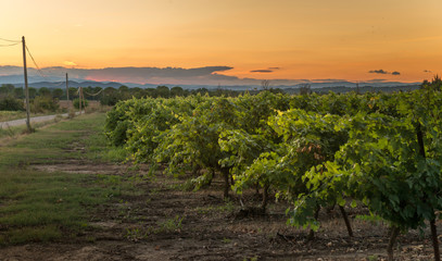 Vineyard at sunset, southern France © FrankBoston