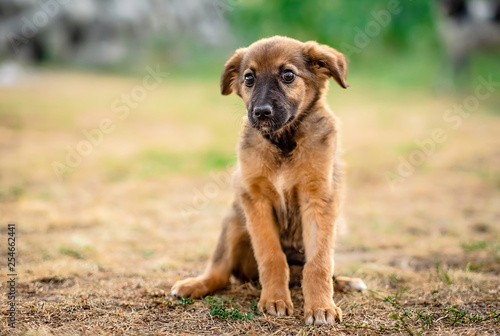Little cute light brown homeless puppy obediently waiting - 254662441