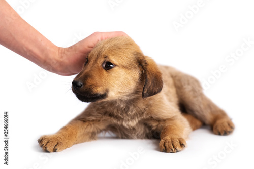 obraz PCV hand stroking cute light brown puppy isolated on white background