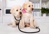 Two cute labrador puppy dogs sit on examination table at the veterinary doctor office - 254674061