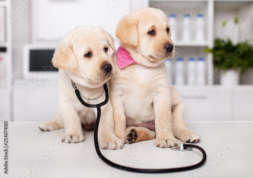 Two cute labrador puppy dogs sit on examination table at the veterinary doctor office