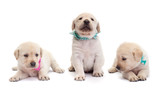 Cute labrador puppy dogs with colorful scarves isolated on white