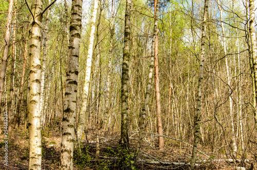 Birken Stämme im Frühling