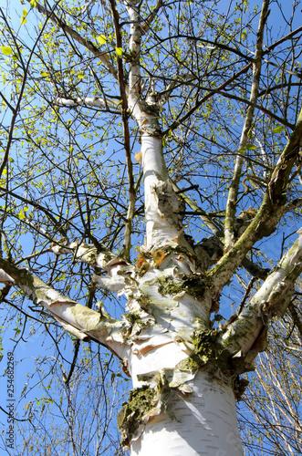 Birkenstamm vor blauem Himmel im Frühling - 254682269