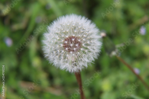dandelion on background of green grass - 254700236