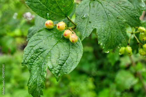 Unripe berries of viburnum - 254701260