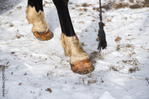 Closeup photograph of horse legs as they stand in the crisp winter snow