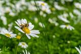 Chamomile field, bees pollinate chamomile