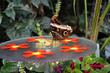 Schmetterling, ein großer Falter mit braunen Augen am gedeckten Tisch