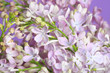 A fragment of a delicate bouquet of lilacs on a purple background, close-up.