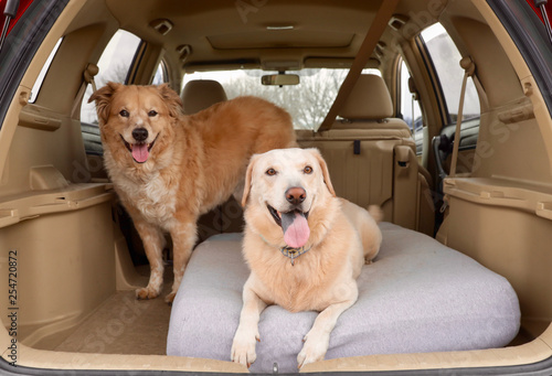 obraz lub plakat Two Dogs out for a car ride