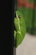 Sleeping Tree Frog