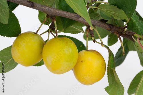 Leinwanddruck Bild Drei Mirabellen an einem Zweig freigestellt