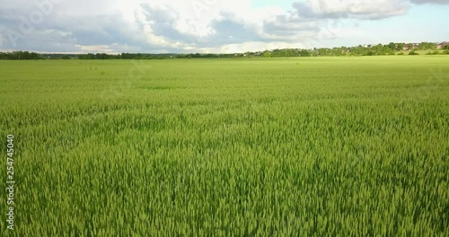 Green Country Field Of Rye With Row Lines. Aerial View Of Rye Fields. Field With Green Barley Swaying In The Wind. Barley Field Aerial Landscape.