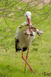 cicogna con foglie nel becco