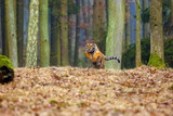 The Siberian tiger (Panthera tigris tigris),also called Amur tiger (Panthera tigris altaica) running through the forest. Young tiger in the in a natural environment.