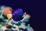 Tropical blue fish, coral, reef