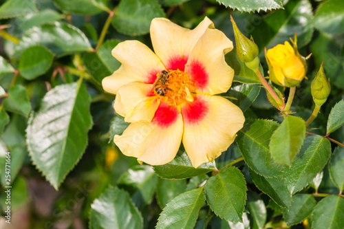 bee pollinating red and yellow eye of the tiger rose in bloom