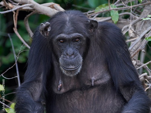 obraz lub plakat Chimpanzee (Pan troglodytes)
