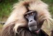 Gelada Monkeys, Simien Mountains,  Ethiopia
