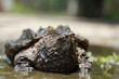 Alligator snapping turtle near the pool